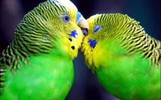 Как различить попугаев мальчик или девочка – как отличить самца от самки попугая?