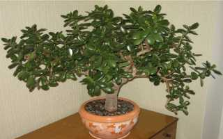 Денежное дерево комнатное растение полезные свойства, лечение толстянкой в домашних условиях