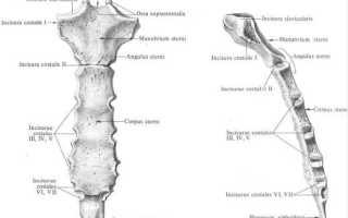 Что входит в состав грудной клетки: где находится грудина у человека фото?