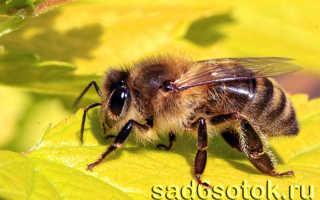 Все о пчелах и пчеловодстве для начинающих, как ухаживать за пчелами