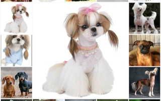 Породы собак маленькие с фотографиями и названиями, карманные собачки фото цена