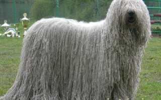 Командор венгерская овчарка фото