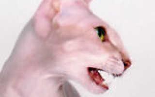 Петерболд (петербургский сфинкс): описание породы, фото, характер и содержание кошки, отзывы владельцев