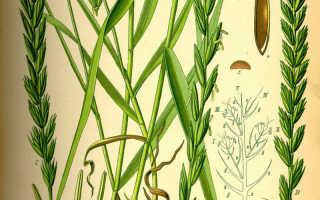 Корень пырея лечебные свойства и противопоказания: трава порей