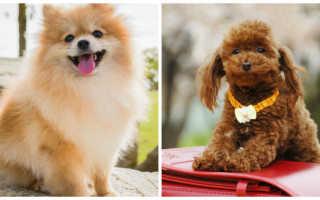 Собака как игрушка порода: домашние собачки