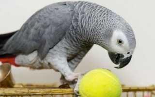 Попугай поёт детскую песенку про Антошку: смешное видео