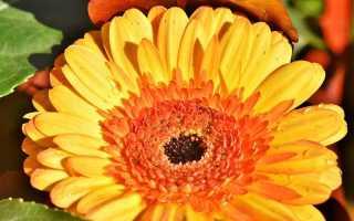 Цветы гербера посадка и уход фото