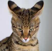 Фото кошки породы саванна, сервал в домашних условиях