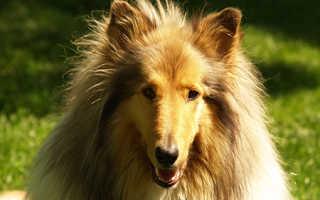Пироплазмоз у собак симптомы и лечение: шпица укусил клещ, что делать?