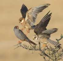 Сапсан это хищная птица – Сокол интересные факты