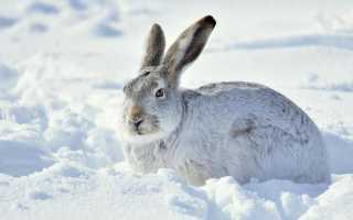 Чем отличаются кролики от зайцев: заяц быстро бегает