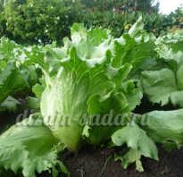 Семена салата лучшие сорта для открытого грунта