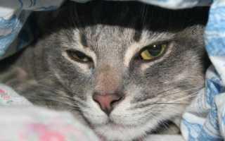 Энтерит у кошек: симптомы, диагностика и лечение (в том числе в домашних условиях), профилактика, рекомендации ветеринаров