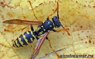 Сколько глаз у осы, интересные факты о осах