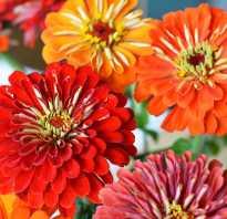 Циния выращивание из семян когда сажать