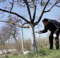 Как приготовить побелку для деревьев из извести, когда можно белить яблони?