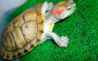 Как определить пол красноухой черепахи фото?