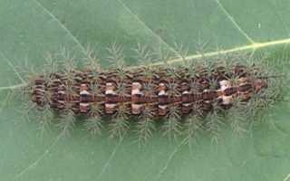 Самый страшный жук – новое насекомое убийца