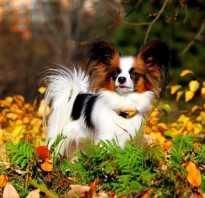 Собака с ушами как у бабочки, папильон характер