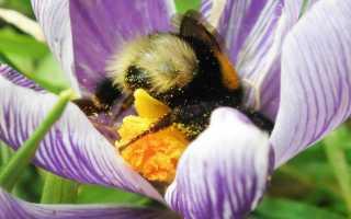Какие насекомые являются опылителями, как происходит опыление