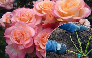 Как сажать розы в открытый грунт весной?
