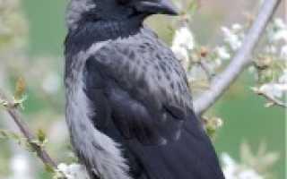 Ворона села на окно к чему