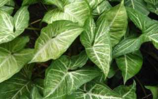 Сингониум: все нюансы ухода за растением в домашних условиях + фото и видео