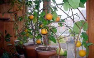 Комнатный лимонник выращивание и уход, домашний лимон
