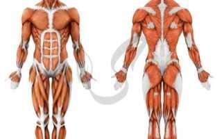 Поперечно полосатая мышечная ткань входит в состав, гладкие мышцы под микроскопом