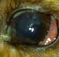 Что делать если у собаки гноится глаз?
