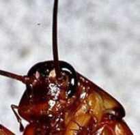 Нашатырный спирт от тараканов: рецепты с использованием аммиака + фото, видео и отзывы