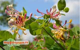 Жимолость каприфоль в ландшафтном дизайне фото, канифоль растение