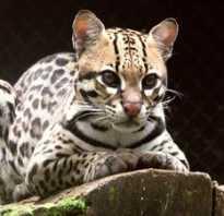 Оцелот: внешний вид, описание кошки, особенности содержания в домашних условиях, отзывы владельцев