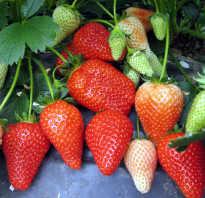 Сорт садовой земляники Альба — описание, уход и другие особенности
