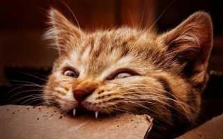 Во сколько меняются зубы у котят: когда у кошки выпадают молочные клыки?