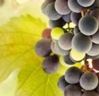 Пересадка винограда осенью: как и когда проводить, можно ли, особенности для разных типов