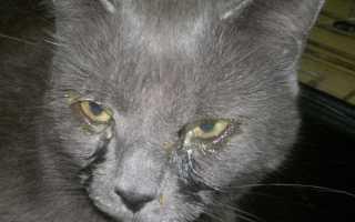 Хламидиоз у кошек: симптомы, опасность для животного и человека, возможно ли лечение в домашних условиях, рекомендации ветеринаров