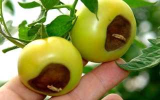 Серая гниль на томатах: почему гниют помидоры?