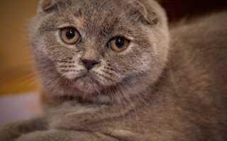 Порода кошек скоттиш фолд, кот скотишфолд