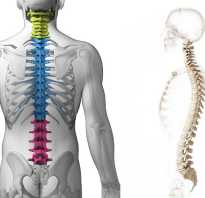 Сколько позвонков в каждом отделе позвоночника, скелет человека поясничный отдел