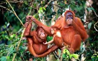 Виды обезьяны фото с названием – факты об обезьянах