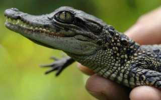 Крокодил во сне для женщины к чему, приснился маленький крокодильчик