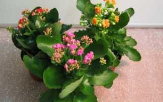 Каланхоэ цветущий как ухаживать чтобы цвел, меланхолия цветок комнатный