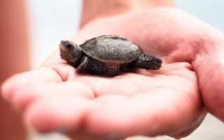 Морская черепаха уход в домашних условиях, виды черепашек
