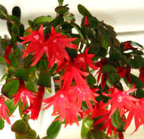 Хатиора — уход за цветком в домашних условиях + фото