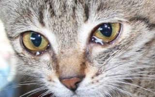 Слезятся глаза у котенка чем лечить: слезотечение у кошек лечение
