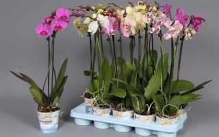 Орхидея как размножать в домашних условиях