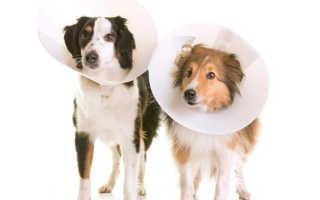 Как меняется поведение собаки после стерилизации, кобель после кастрации
