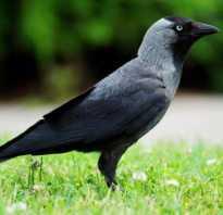 Перелетные птицы картинки с названиями и описанием, галка улетает на юг