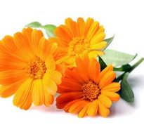 Можно ли пить календулу как чай, ноготки цветы от чего помогает